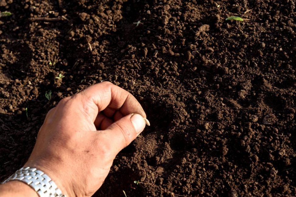 Летняя посадка семян огурцов в открытый грунт