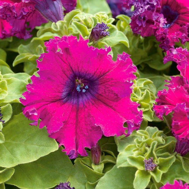 Петуния Grandiflora fimbriata