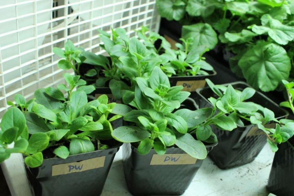 Молодые растения в горшочках