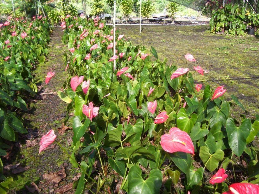 Светлые листья и розовая окраска прилистников создают нежное сочетание