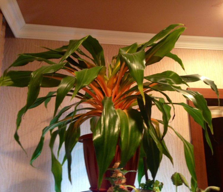 Нарядный оранжевый окрас и форма листьев делают его непохожим на близких родственников