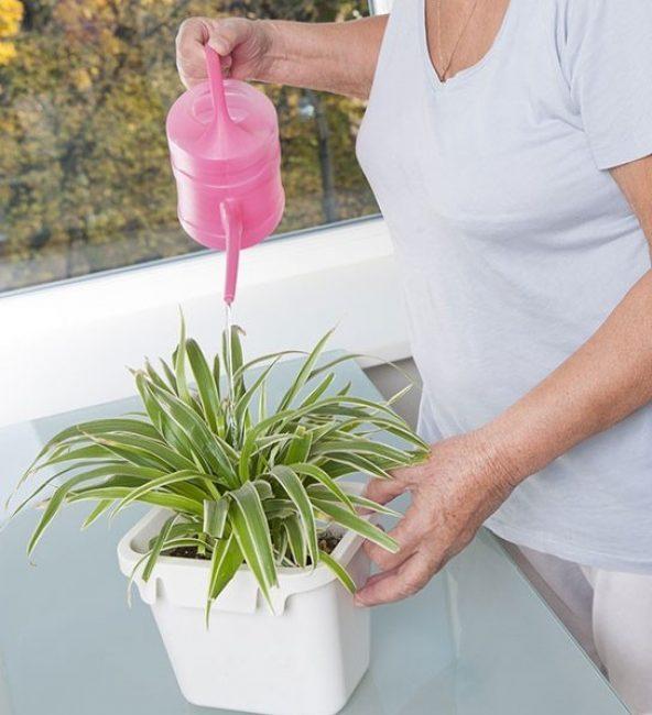 Растение-эпифит способно запасать влагу в ложбинках листьев и утолщенном корневище