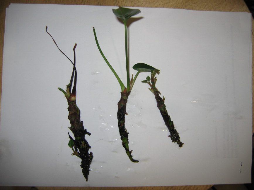 Антуриум - размножение и укоренение