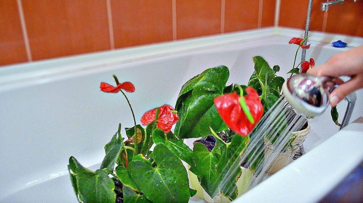 Антуриум - уход в домашних условиях и пересадка цветка
