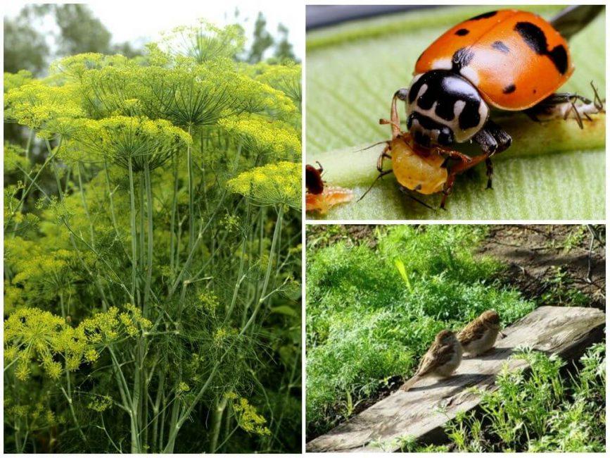 Биологические методы борьбы с тлёй