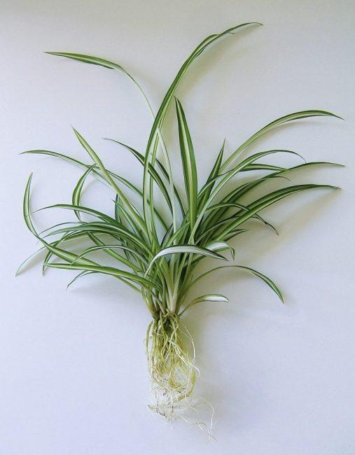 Хлорофитум размножение Chlorophytum comosum