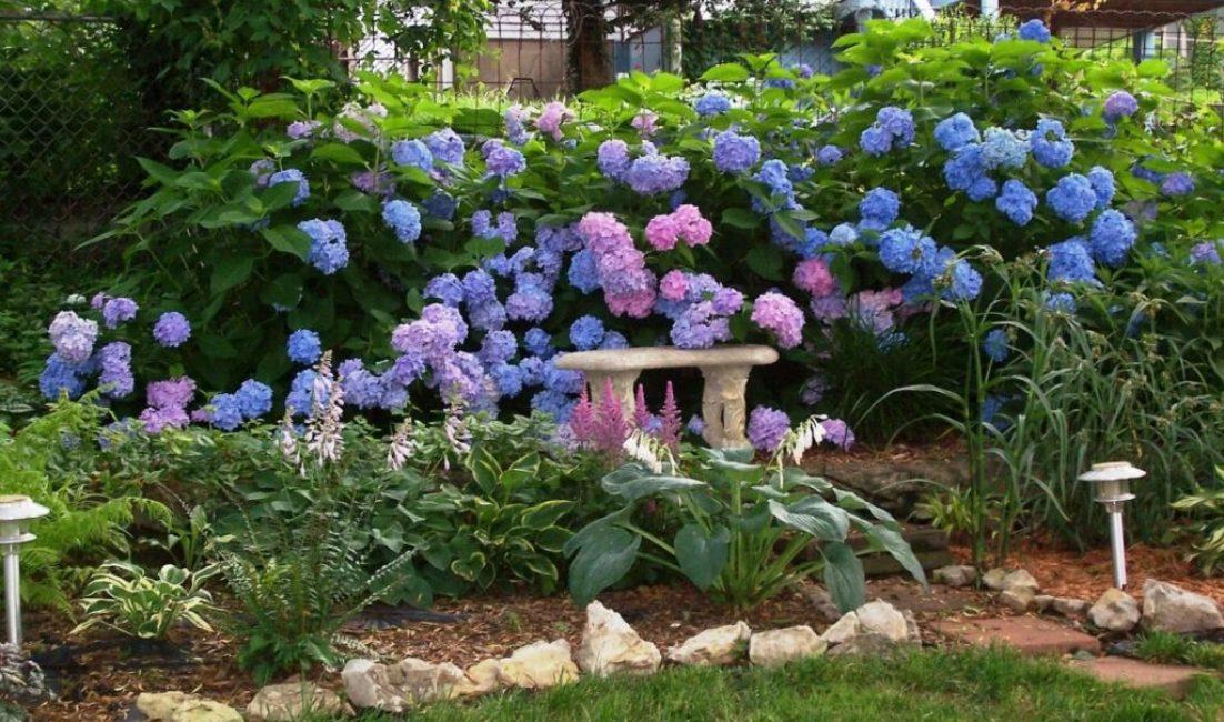 Гортензия выращивание и уход в саду