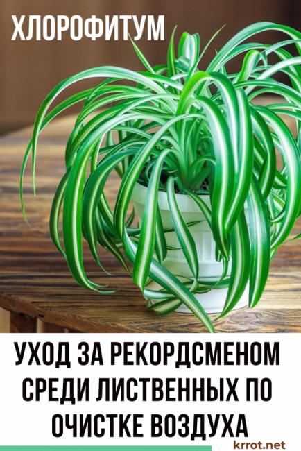 Правильно ухаживать за хлорофитумом не сложено и по силу начинающим цветоводам, которые только приступают к созданию «зеленого интерьера» квартиры
