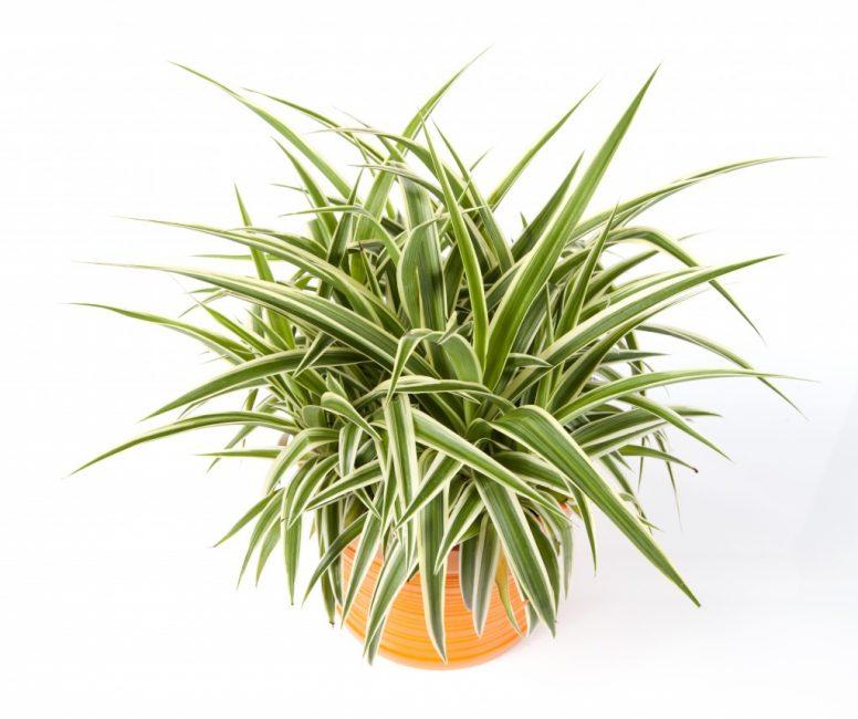 Хлорофитум хохлатый - зеленая аура и чистота воздуха в нашем доме.