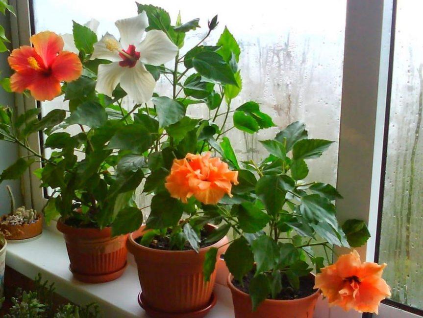 Китайская роза (Гибискус) - уход в домашних условиях
