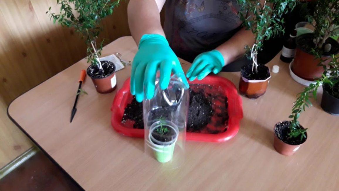 Молодые растения пересаживают ежегодно, взрослые - раз в 4-5 лет
