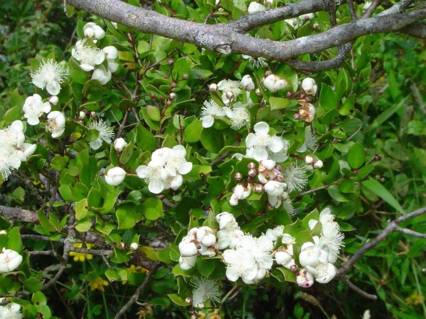 чилийский мирт luma apiculata