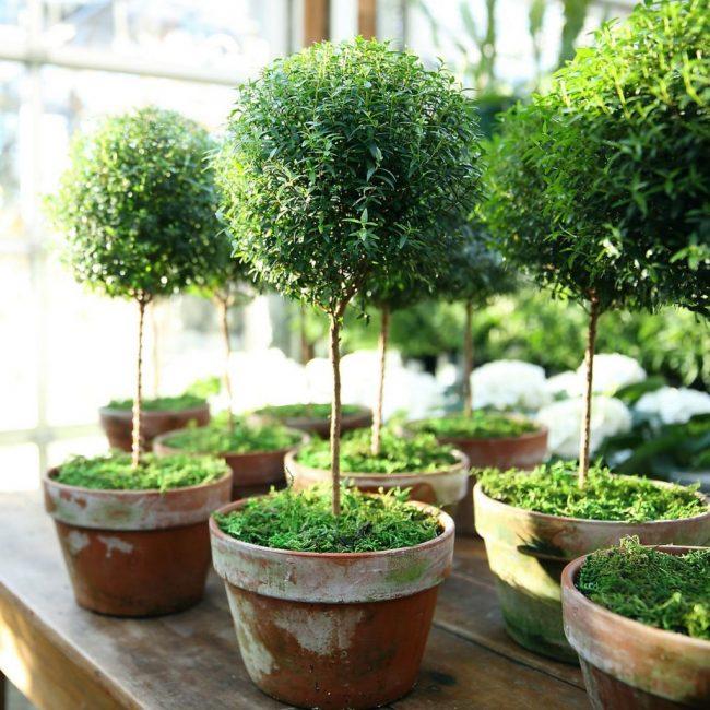 Миртовое дерево - светолюбивое растение