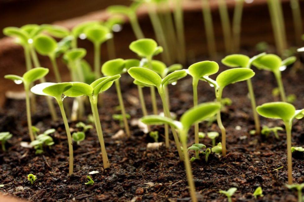Семена всходят долго, и это затрудняет процесс размножения