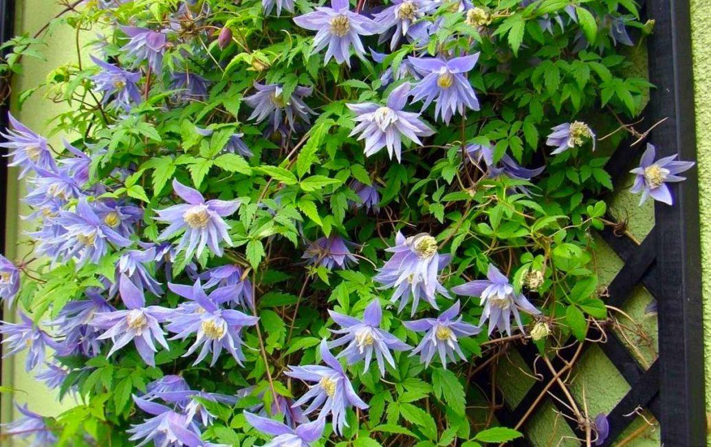 Княжики зимостойки, быстро разрастаются, декорируя участок, поэтому любимы садоводами северных широт