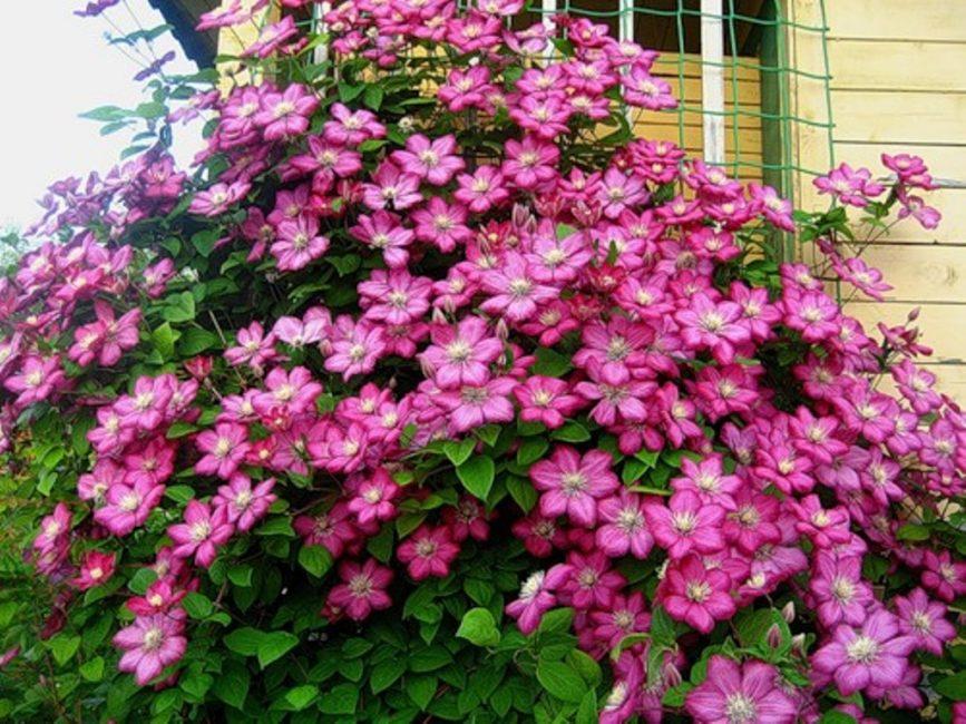 Гибрид Вилль де Лион характеризуется пышным цветением с июля до заморозков, неприхотливостью и долголетием