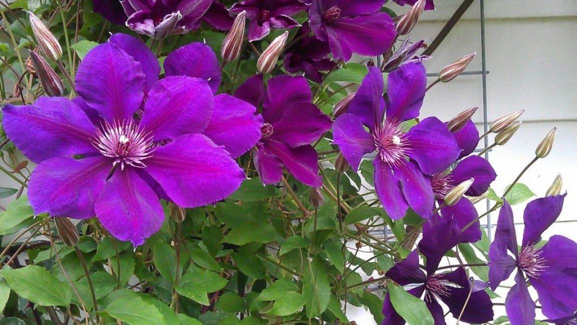 Клематис Джипси Квин или Королеава цыган обладает крупными цветами лилово-фиолетовой гаммы. Относится к группе Жакмана