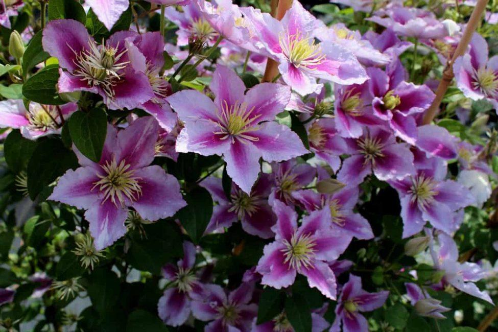 Цветок состоит из ярко окрашенных чашелистиков. Дополнительную декоративность ему придают многочисленные пестики и тычинки