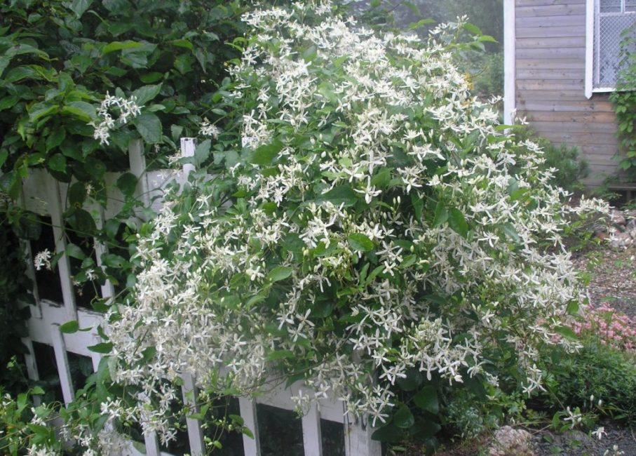 Обилие ароматных, белых цветов придают клематису жгучему особую прелесть
