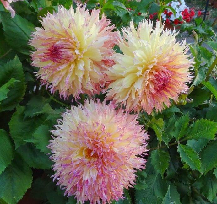 Крупноцветковый сорт Myrtle's Folly