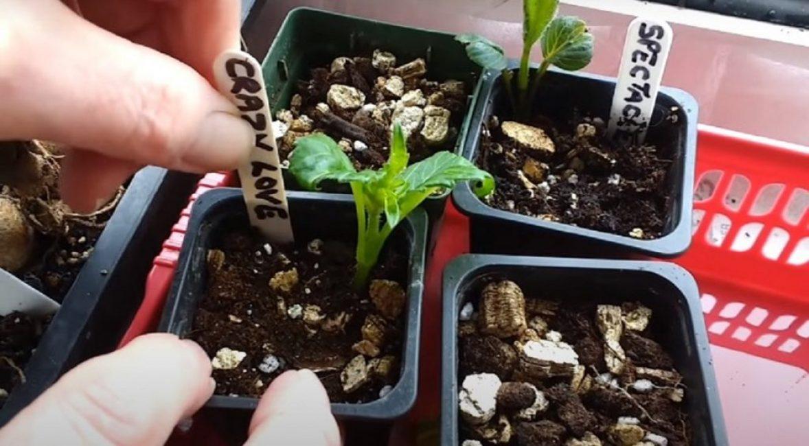 Высаживая черенки, не забывайте подписать название сорта