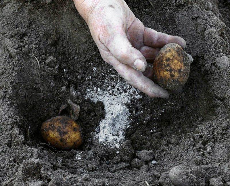 Сухой порошок золы добавляют в лунки при посадке картофеля и ряда других культурных растений