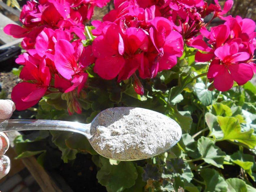 2-3 подкормки за сезон зольным концентратом гарантируют обильное и пышное цветение герани