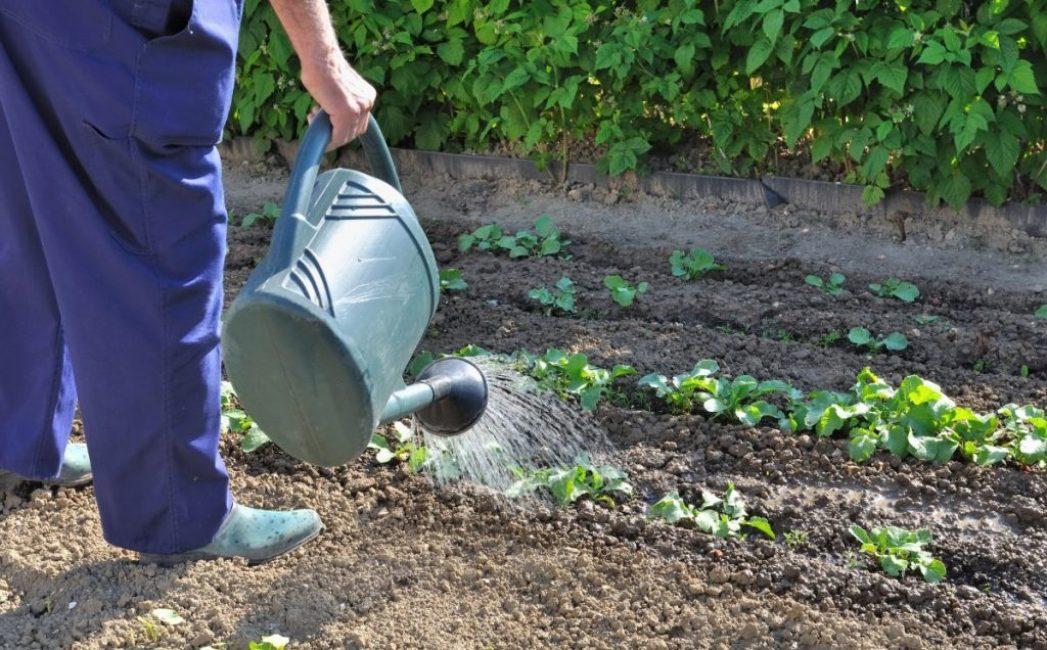 Правильный и своевременный полив значительно повышает урожайность овощной культуры