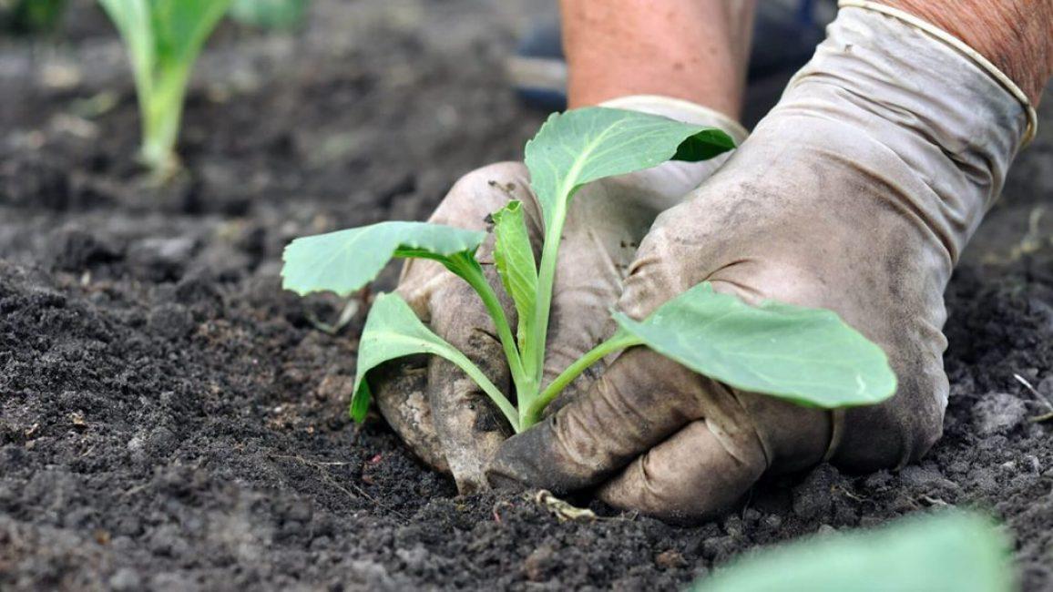 Брокколи высаживают по схеме: 40 см между лунками и 50-60 см между рядами