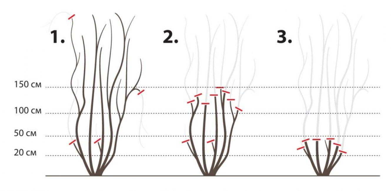 Обрезка 1,2 и 3 группы клематисов