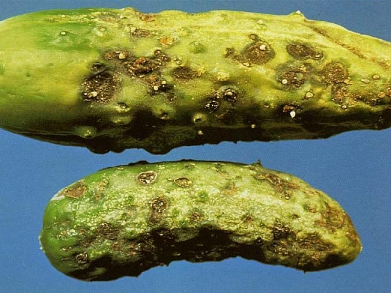 Кладоспориоз (оливковая пятнистость)