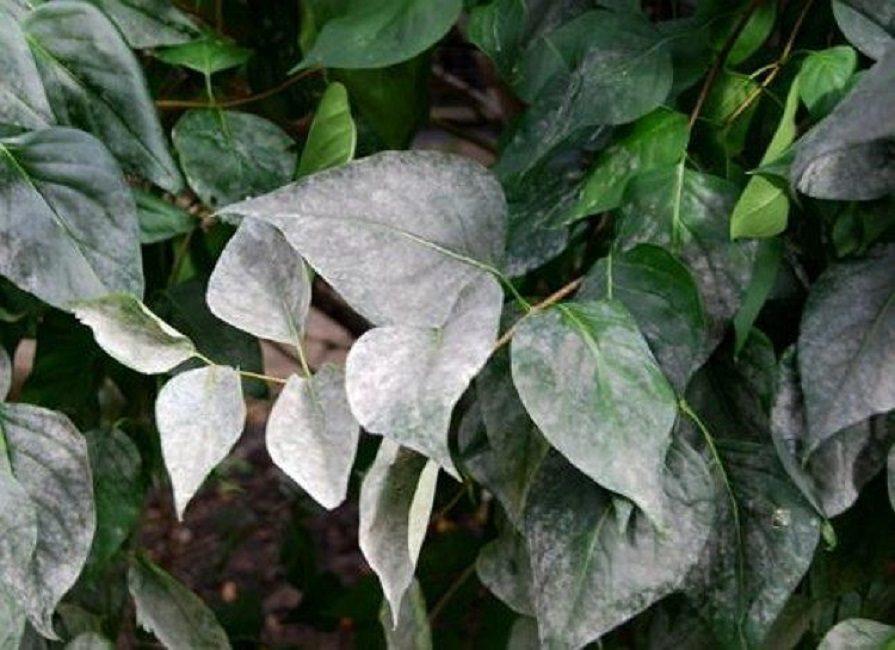 Белый, мучнистый налет на листьях - признак мучнистой росы. Болезнь обычно распространяется при сырой погоде