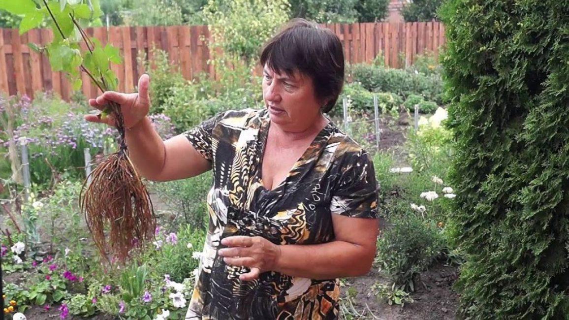 Клематис,как размножить делением куста