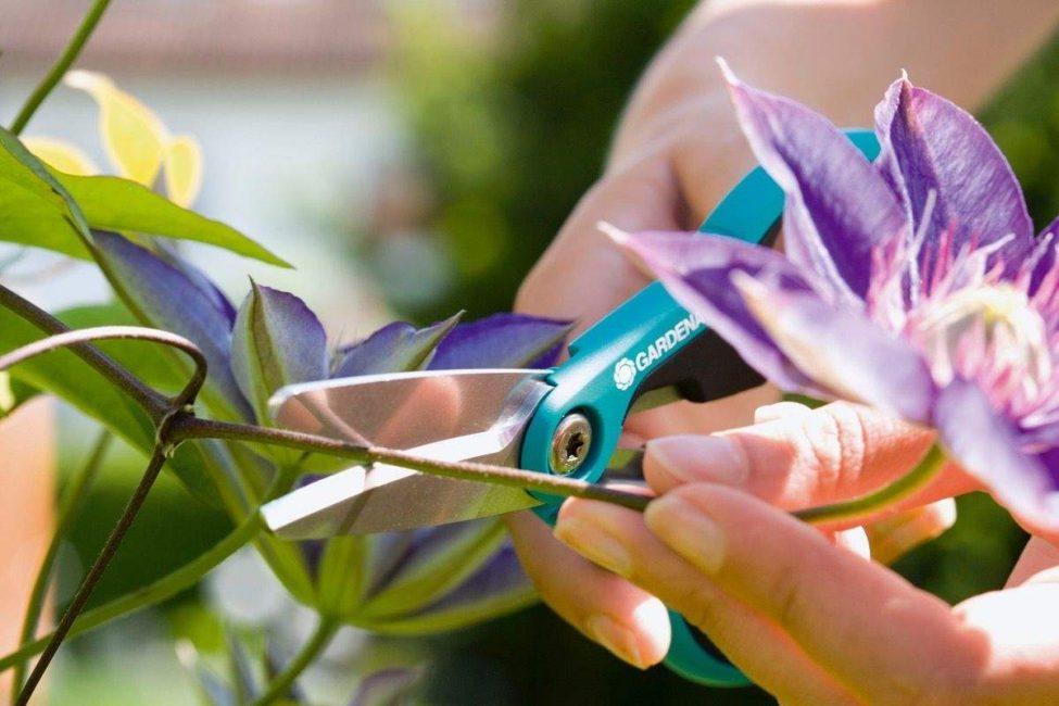 Когда клематис зацвел в первый раз, цветки срезают, чтобы укрепить наземную часть