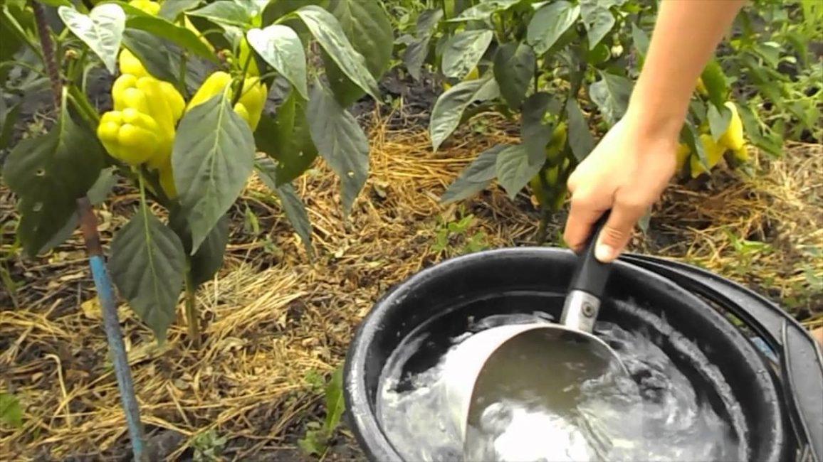 Зола для повышения урожайности перцев