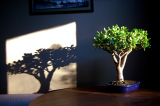 Денежное дерево (Толстянка): как ухаживать в домашних условиях? — Все о поливе, размножении, пересадке (Фото & Видео) +Отзывы