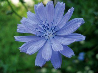 цветы голубого цвета
