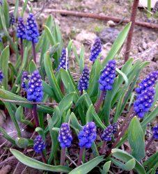 луковичные цветы фото и названия