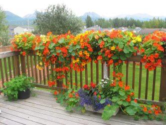 настурция выращивание из семян