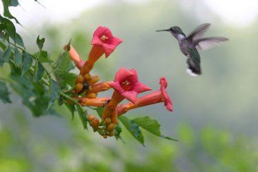 Кампсис: описание, виды, посадка в открытом грунте, размножение и уход за красивой лианой (85+ Фото & Видео) +Отзывы
