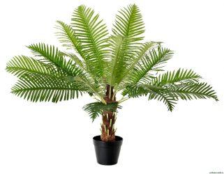 Финиковая пальма: особенности выращивания из косточки в домашних условиях, пересадка и уход, (50 Фото) +Отзывы