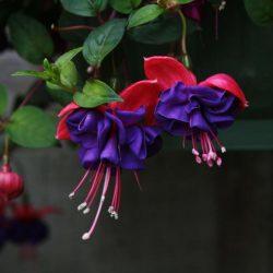 Фуксия — Выращивание, Уход, Пересадка, Размножение в домашних условиях (50+ Фото & Видео) +Отзывы