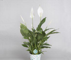 Цветок Спатифиллум — уход в домашних условиях, пересадка, размножение (80+ Фото & Видео) +Отзывы