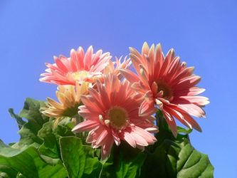 Садовая гербера: описание, виды и сорта, посадка и уход за африканским цветком в открытом грунте, размножение, возможные болезни (40+ Фото & Видео) +Отзывы
