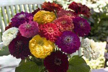 Цинния – однолетник с самым продолжительным цветением: описание, посадка в открытый грунт, уход (95 Фото & Видео) +Отзывы