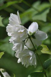 Чубушник: описание 20 сортов, посадка и уход за кустарником в саду, возможные болезни (110+ Фото & Видео) +Отзывы