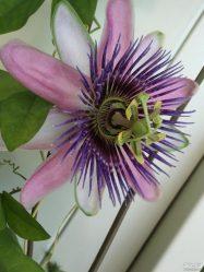 Пассифлора домашняя или страстоцвет — лиана со съедобными плодами: описание, виды, выращивание, посадка и уход, размножение (80+ Фото & Видео) +Отзывы