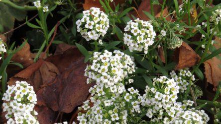 Алиссум: виды и сорта растения, посев семян в открытый грунт и уход за радужным ковром на участке (130 Фото) +Отзывы