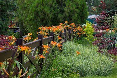 Лилейники – многообразие из тропиков: описание, классификация сортов, выращивание, уход и размножение (Фото & Видео) +Отзывы