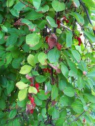 Лимонник китайский: выращивание от Подмосковья до Сибири, посадка в открытом грунте и уход, лечебные свойства и противопоказания (35 Фото & Видео) +Отзывы